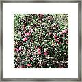 Beautiful Camellia Bush Framed Print