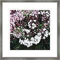 Beautiful Jasmine Flowers In Full Bloom Framed Print