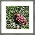 Beautiful Pine Framed Print