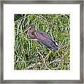 Beautiful Tricolored Heron Framed Print