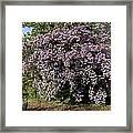 Beauty Bush (kolkwitzia Amabilis) Framed Print