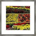 Beauty Of The Fall Mums Framed Print