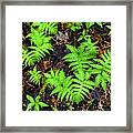 Beech Fern Colony Framed Print