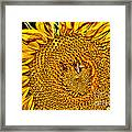 Bees On Sunflower Hdr Framed Print