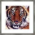 Bengal Tiger Eye To Eye Framed Print