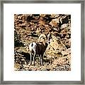 Bighorn Stare Framed Print