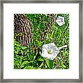 Bindweed In Pipestone National Monument-minnesota Framed Print