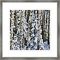 Birches In The Winter Framed Print