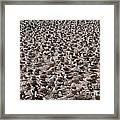 Black-browed Albatross Nesting Colony Framed Print by Art Wolfe