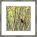 Blackbird In Reeds Framed Print