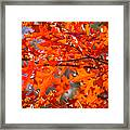 Blazing Maple Framed Print
