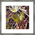 Bloodroot Reaching For The Spring Sun Framed Print
