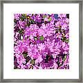 Blooming Pink Azaleas Framed Print