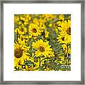 Blooming Sunflower Framed Print