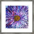 Blue Aster Miniature Painting Framed Print