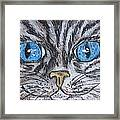 Blue Eyed Stripped Cat Framed Print