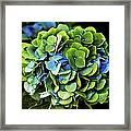 Blue Green Hydrangea Framed Print