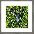 Blue Heron In Mangroves Framed Print