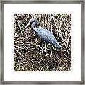 Blue Heron Lacassine Framed Print