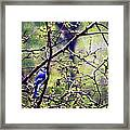 Blue Jay - Paint Effect Framed Print