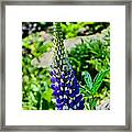 Blue Lupins Framed Print