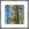 Blue Skies And Golden Aspen Trees Framed Print