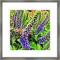Blue Veronica Flowers   Digital Paint Framed Print