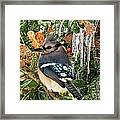 Bluejay And Ice Framed Print