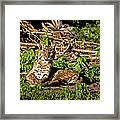 Bobcat At Sunset Framed Print by Mark Andrew Thomas