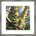 Bombacaceae - Floss Silk Tree - Chorisia Speciosa Hawaii Framed Print