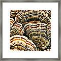 Bracket Fungus 1 Framed Print
