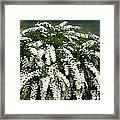 Bridal Wreath Spirea - White Flowers - Florist Framed Print