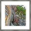 Bristlecone Pine On Ramparts Trail In Cedar Breaks National Monument-utah  Framed Print