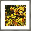 Brittle Bush In Bloom  Framed Print