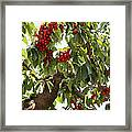 Bumper Crop - Cherries Framed Print