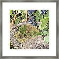 Bunches Of Red Wine Grapes Growing On Vine Framed Print