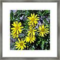 Bush Daisy  Framed Print