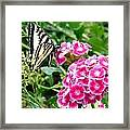 Butterfly And Sweet Williams Framed Print