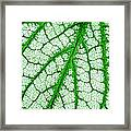 Caladium Leaf  Framed Print