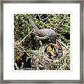 California Gnatcatcher Feeding Young Framed Print