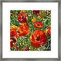 California Poppy's Framed Print
