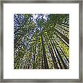 California Redwood Forest Framed Print by Brendan Reals