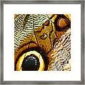 Caligo Atreus Framed Print