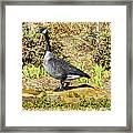 Canadaian Goose Framed Print