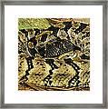 Canebrake Rattlesnake Framed Print