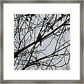Cardinal Amongst The Branches Framed Print