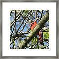 Cardinal  Framed Print by James Hammen