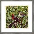 Cardinals Framed Print
