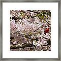 Cardnel In A Cherry Tree Framed Print