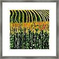 Cash Crop Corn Framed Print